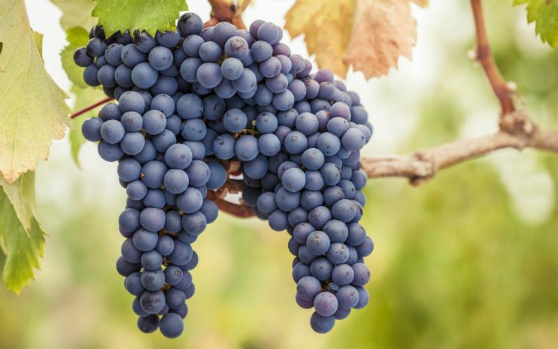 5 curiosidades sobre a uva Cabernet Sauvignon