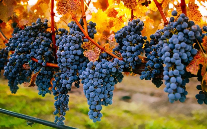 Conheça melhor a Cabernet Sauvignon: uma das uvas favoritas do corte bordalês