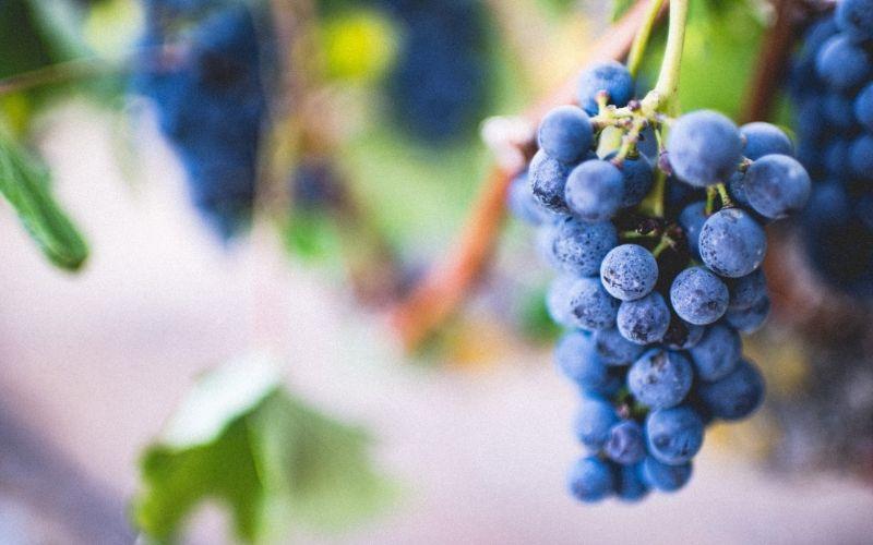 Curiosidades sobre a uva Tempranillo