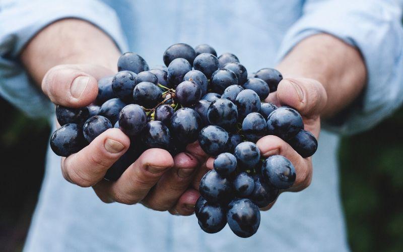 Fatos e curiosidades sobre a uva merlot