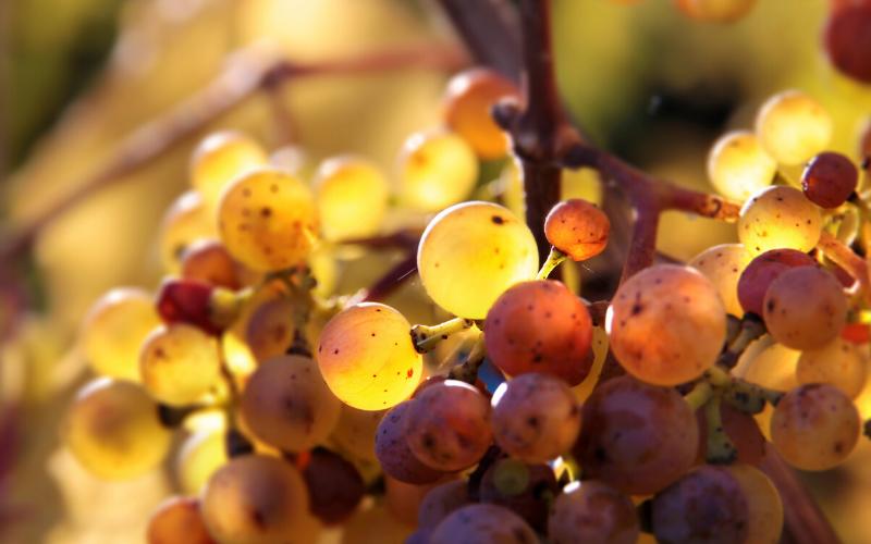 Fatos e curiosidades sobre a uva Riesling