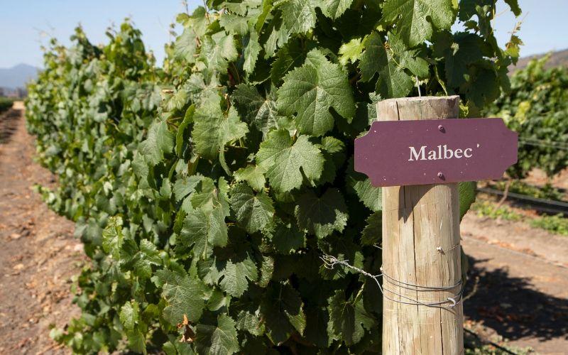 INFOGRÁFICO: a uva Malbec