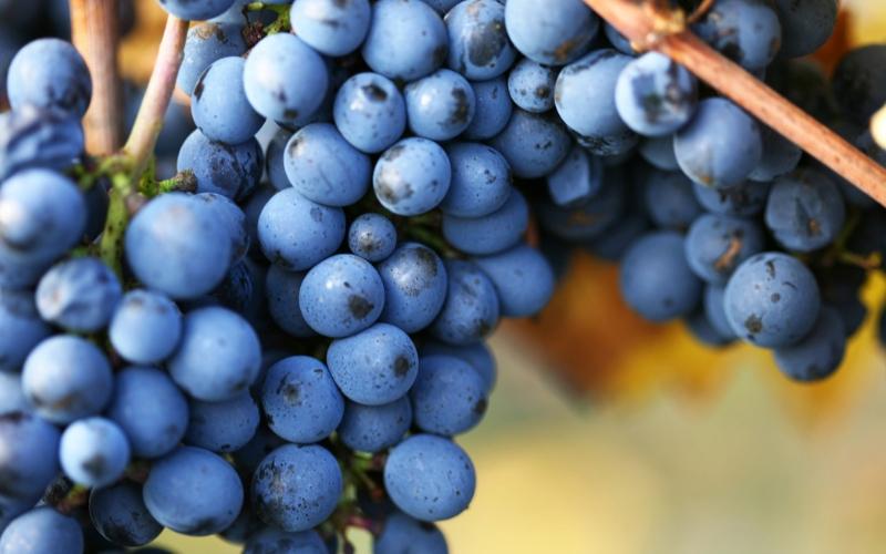 Teste: Quanto Você Sabe Sobre Carbernet Sauvignon E Pinot Noir?